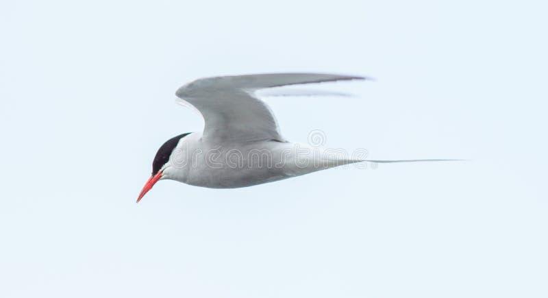 Arctic Tern royalty free stock photos