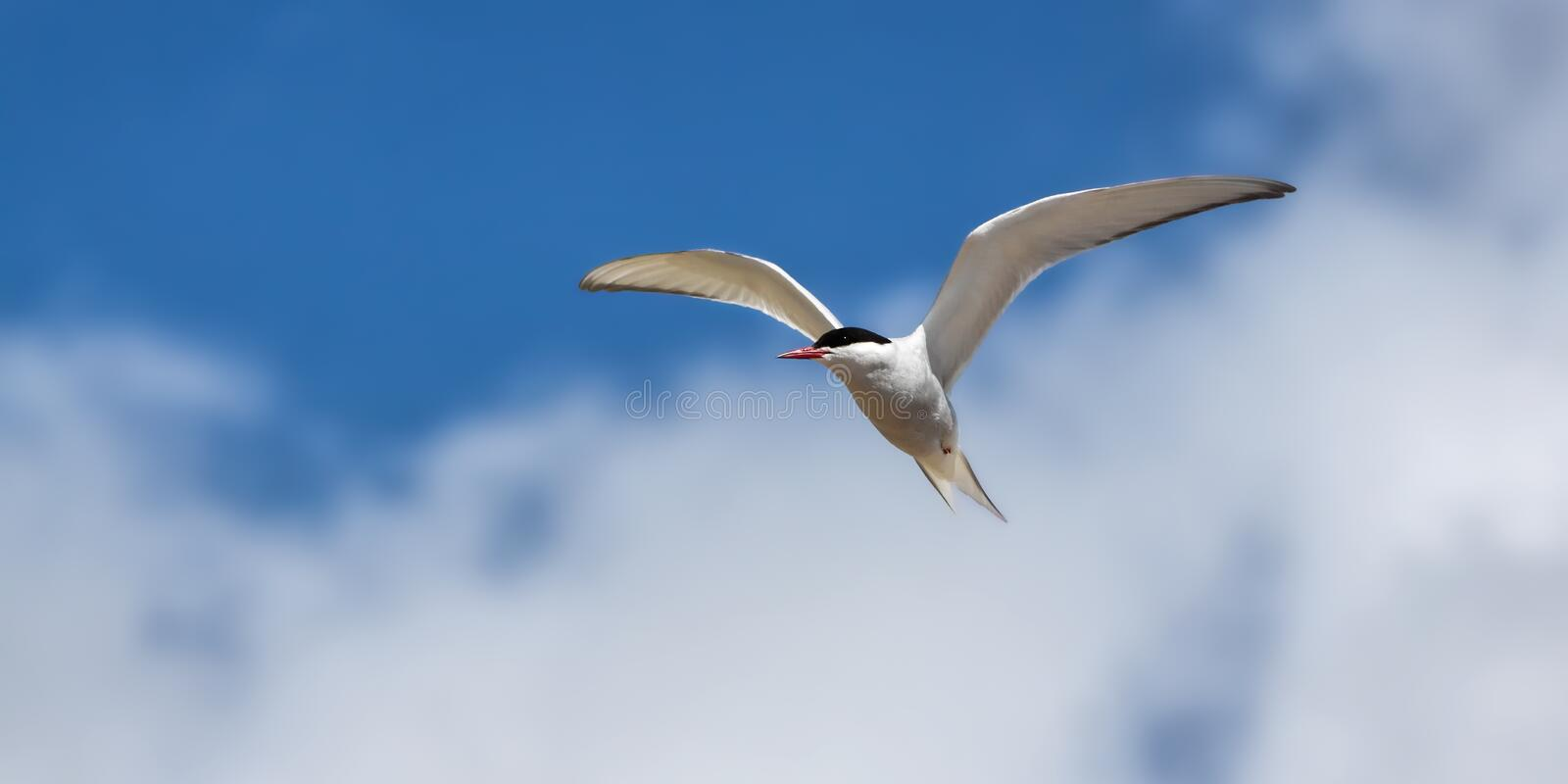 Arctic tern flying on the breeze royalty free stock image