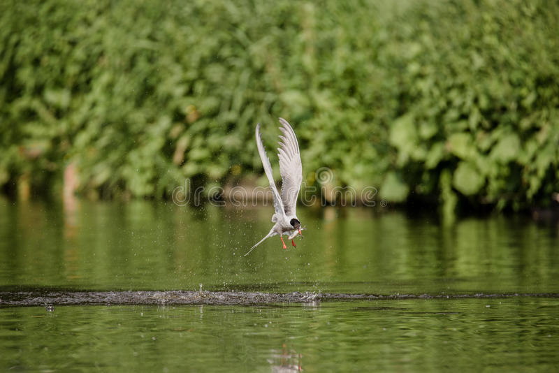 Arctic Tern Catches Fish stock photo