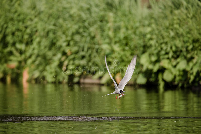 Arctic Tern Catches Fish stock images
