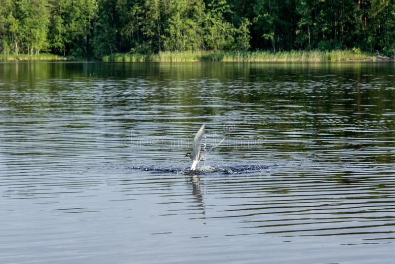An Arctic tern catching a small fish on the Saimaa lake in Finland - 1. An Arctic tern catching a small fish on the Saimaa lake in Finland royalty free stock photo