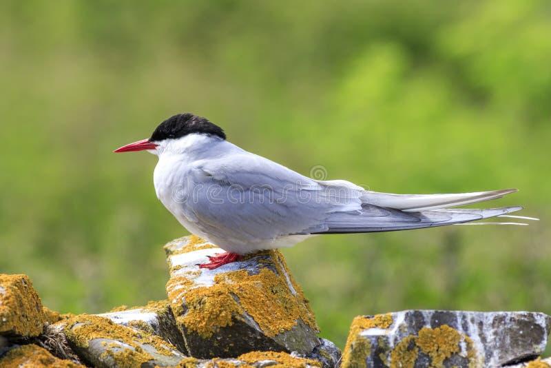 Arctic tern stock images
