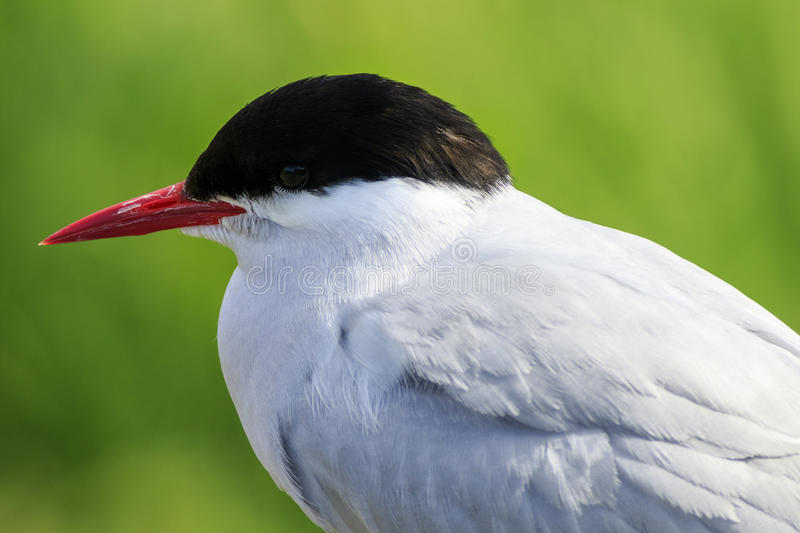 Arctic tern stock photos