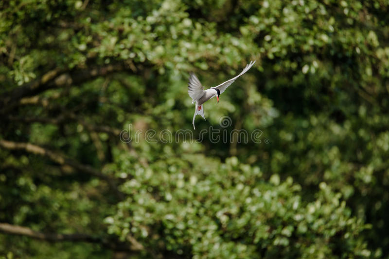 Arctic Tern stock photo