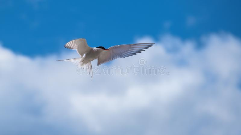 Arctic tern showing his plumage and wings. Arctic tern flying in a blue sky with clouds showing his wings and plumage which are outstretched stock photos