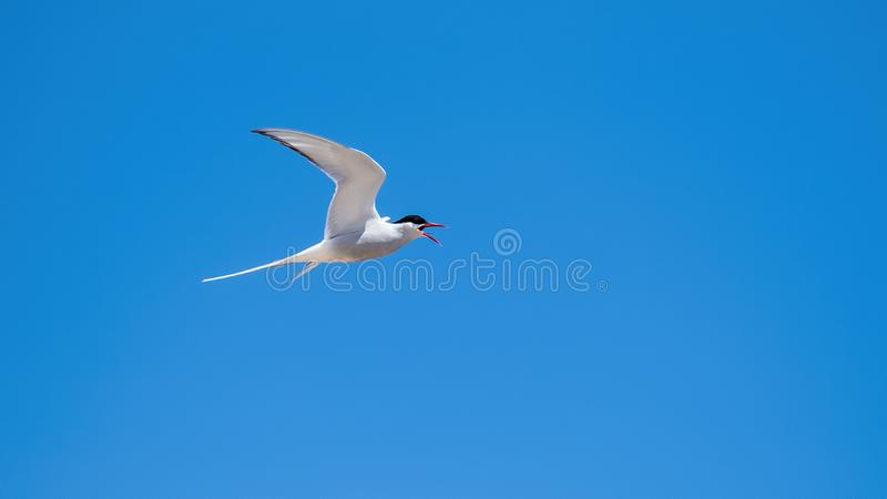 Arctic tern flying in a blue sky royalty free stock images