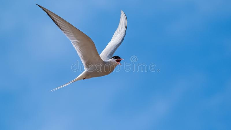 Arctic tern flying in a blue sky royalty free stock photos