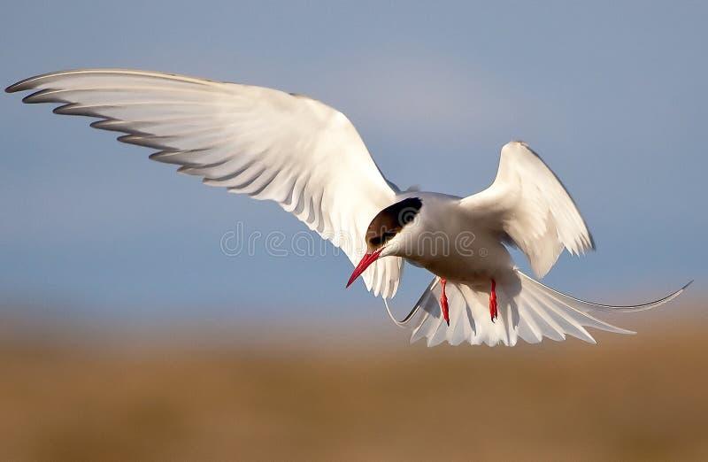 Arctic Tern. Flying over Reykjavik during the sommertime