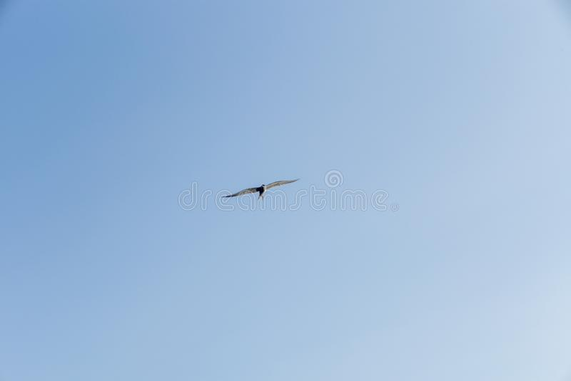 An Arctic tern flying scouting for small fish on the Saimaa lake in Finland - 1. An Arctic tern flying scouting for small fish on the Saimaa lake in Finland royalty free stock images
