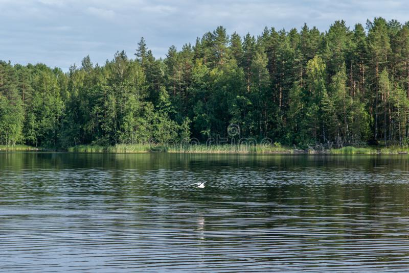 An Arctic tern flying scouting for small fish on the Saimaa lake in Finland - 1. An Arctic tern flying scouting for small fish on the Saimaa lake in Finland stock photo