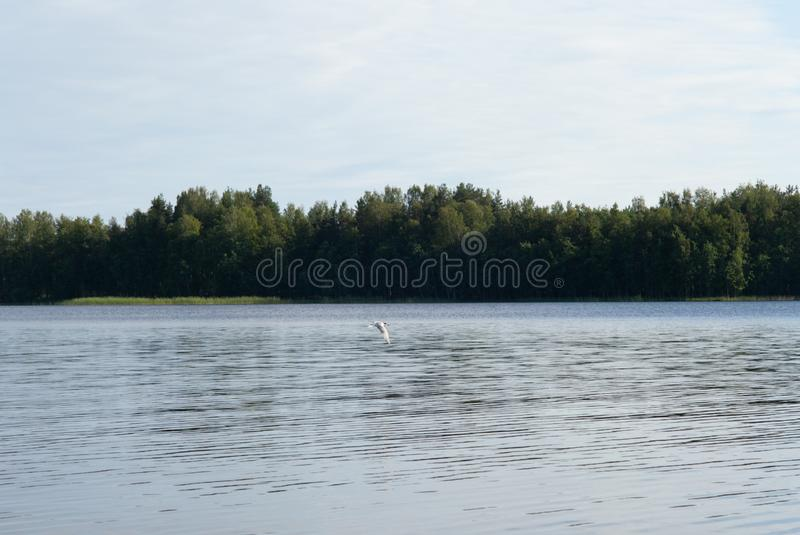 An Arctic tern flying scouting for small fish on the Saimaa lake in Finland - 1. An Arctic tern flying scouting for small fish on the Saimaa lake in Finland stock image