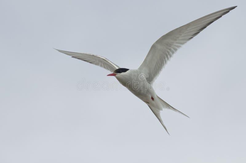 Arctic Tern flying - Sterna paradisaea - Spitzberg Island, Svalbard stock images