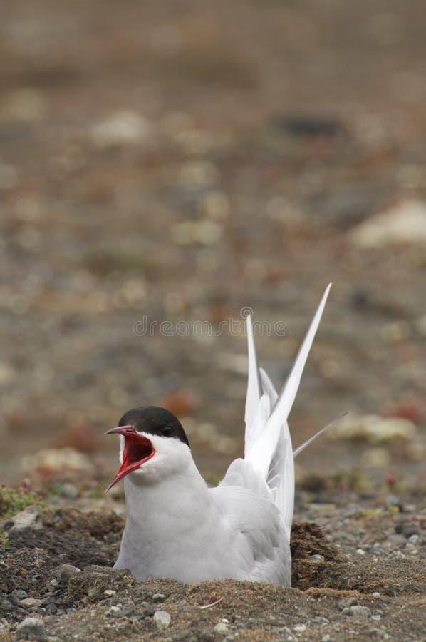 Arctic Tern Guarding Its Nest stock image