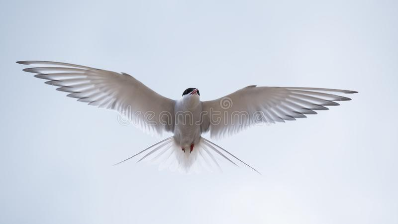 Arctic tern with his wings outstretched. Arctic tern hovering in the sky elegantly displaying his wings and plumage stock photo