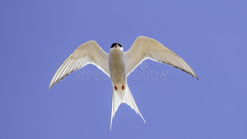 Arctic tern soaring in the sky royalty free stock photos