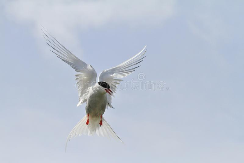 Arctic Tern Hovering. In flight royalty free stock images