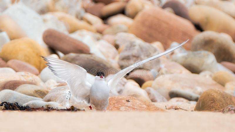 Arctic tern landing on the shore royalty free stock photography