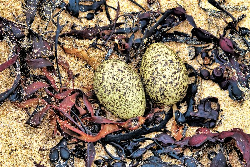 Arctic tern nest with eggs. Made with seaweed in a shallow hollow in the sane on a beach royalty free stock photos