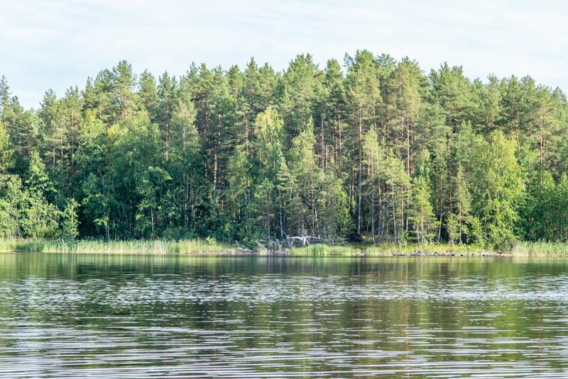 An Arctic tern plunge diving to catch a small fish on the Saimaa lake in Finland. 1 royalty free stock photography
