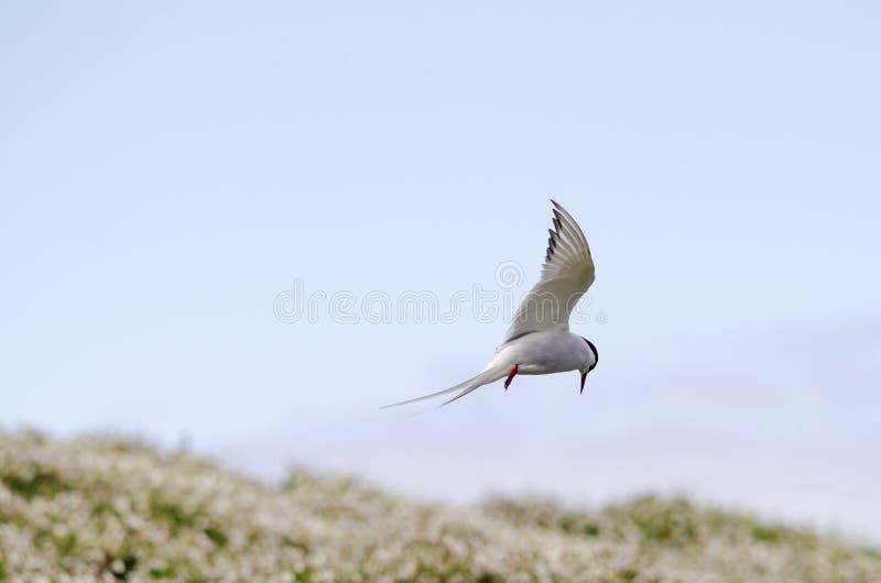 Arctic Tern Seabirds. On the Isle of May, East coast of Scotland royalty free stock photo
