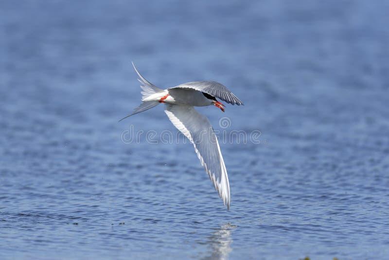 Arctic tern, sterna paradisaea royalty free stock images