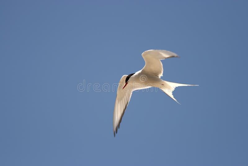 Arctic Tern - Sterna paradisaea royalty free stock image