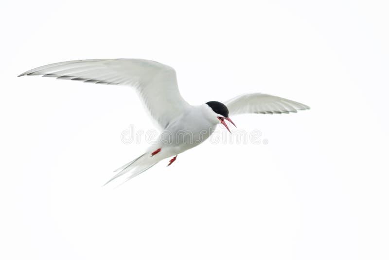 Arctic Tern - Sterna paradisaea, Shetlands, UK stock photo