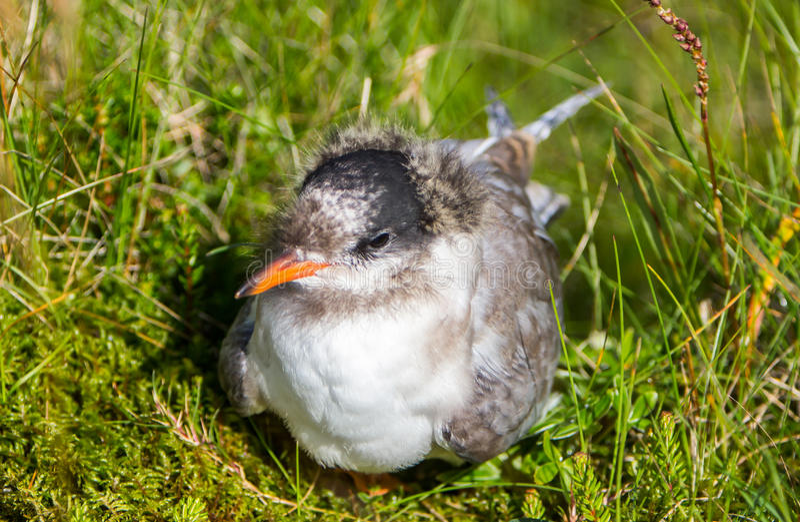 Arctic Tern (Sterna paradisaea) royalty free stock photos