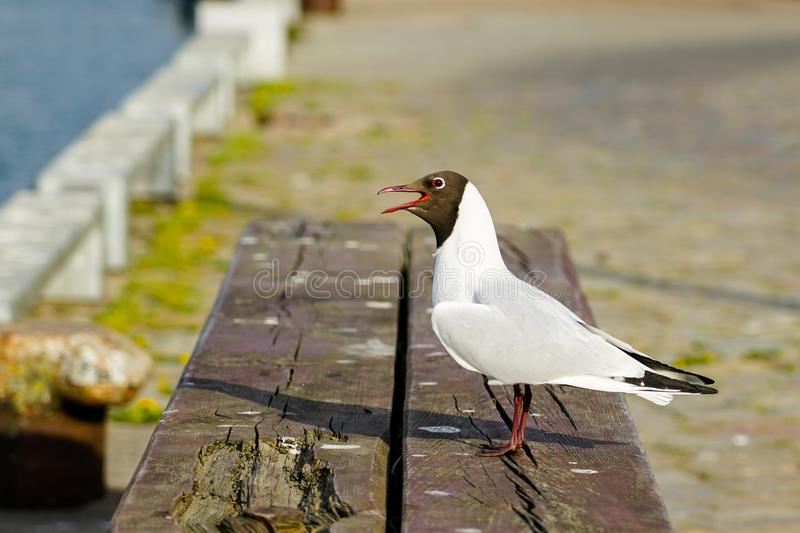 Arctic tern or sterna paradisea in the harbor of Liepaja. Arctic tern or sterna paradisea on wooden post with blurred background in the harbor of Liepaja, Latvia stock photo