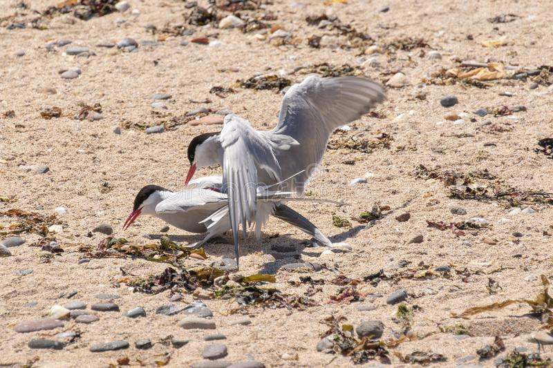 Arctic terns mating on a beach. Arctic terns mating on a rocky beach on the Farne Islands stock photo