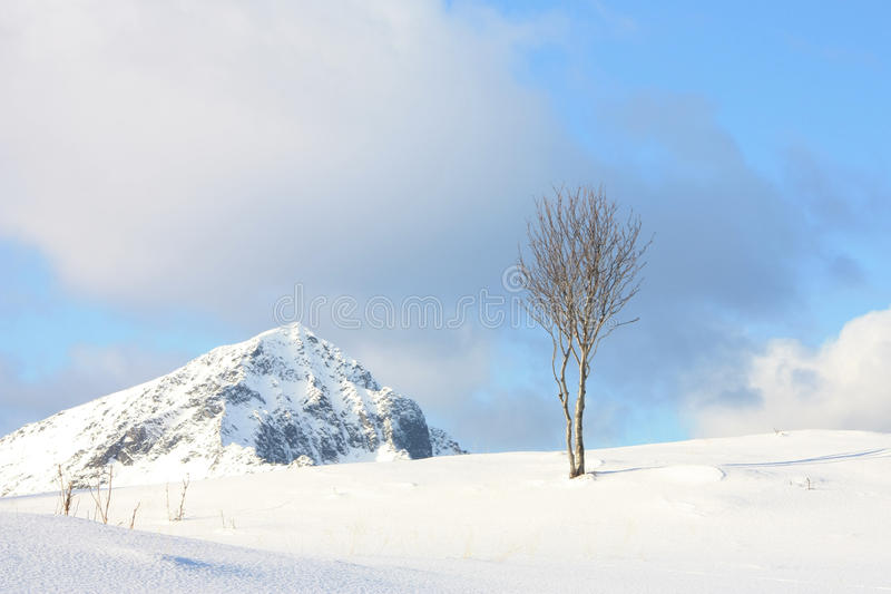 Arctic tree, mountain sky & clouds. A small birch tree on the top of a Lofoten hill on a sunny winter day, and the mountains just beside royalty free stock image