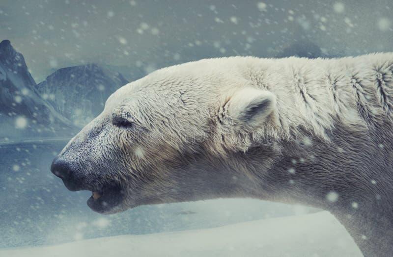Arctic white bear profile photo. royalty free stock photos