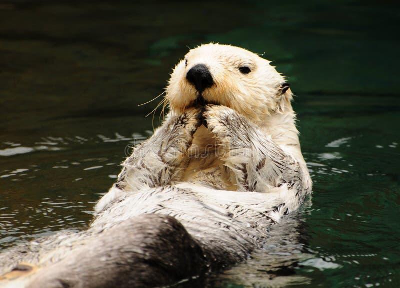 Arctic white otter stock images