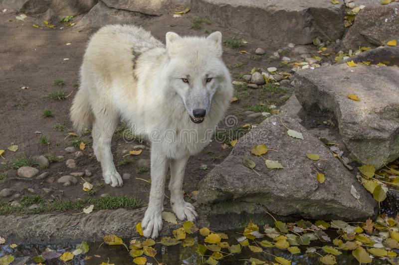 Arctic White Wolf Canis lupus arctos stands on the edge of a pond with fallen leaves, close-up. stock photography