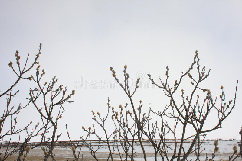Download Arctic Willow - Salix Arctica Stock Photo - Image: 31825196