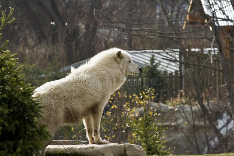 Download Arctic wolf stock image. Image of danger, canine, hungry - 11919025