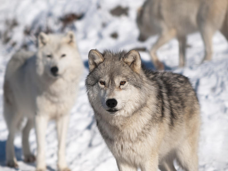 Download Arctic wolf stock photo. Image of chief, dangerous, face - 18043826