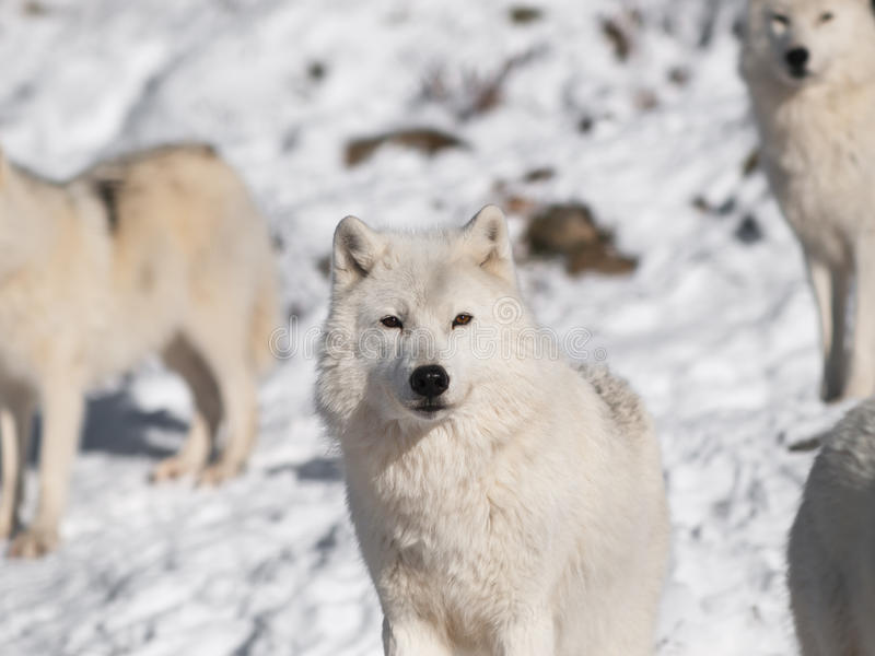 Download Arctic wolf stock photo. Image of furry, head, animal - 18107980