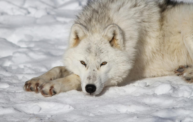 Download Arctic Wolf Stock Photo - Image: 23060400