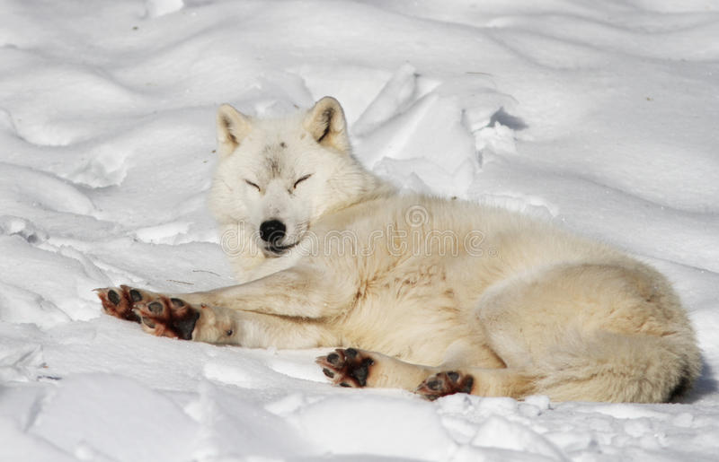 Download Arctic wolf stock image. Image of alfa, leaves, freedom - 23060431