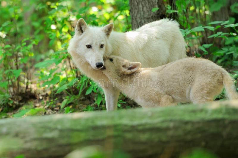 Arctic wolf. Adult arctic wolf with young pup stock photography