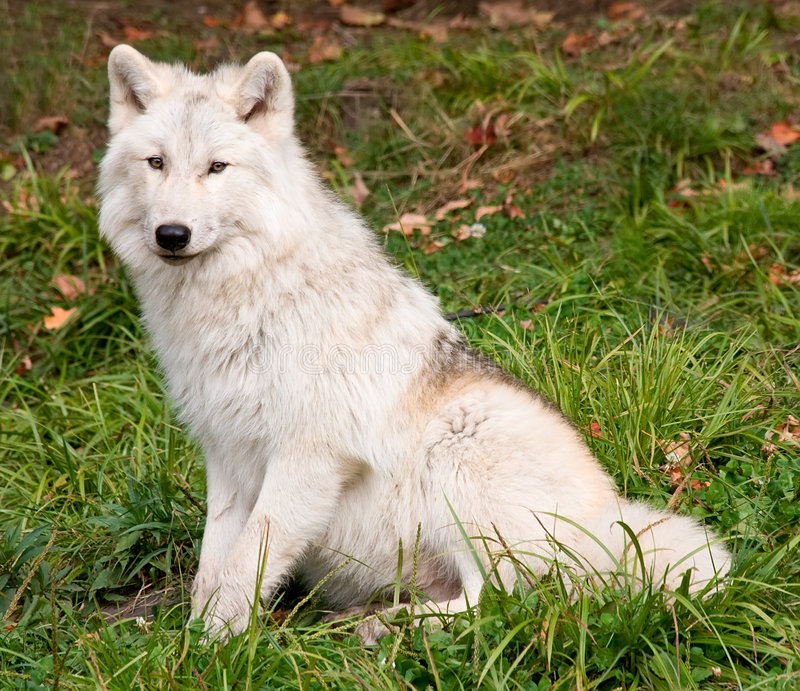 Arctic Wolf. An arctic wolf is looking at the camera stock photography