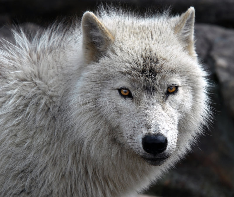 Arctic Wolf. Close-up picture of an arctic wolf stock images