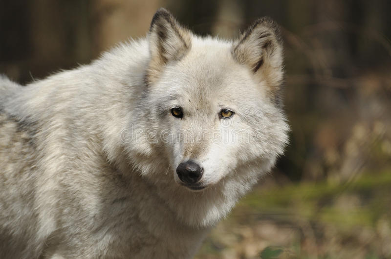 Arctic wolf ( canis lupus arctos ). The Arctic Wolf also called Polar Wolf or White Wolf. The Predator is a subspecies of the Gray Wolf and lives in the Canadian royalty free stock images