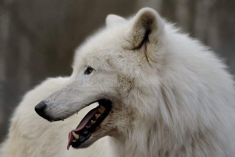 Download Arctic Wolf ( Canis Lupus Arctos ) Stock Photo - Image of eyelash, beast: 18056890