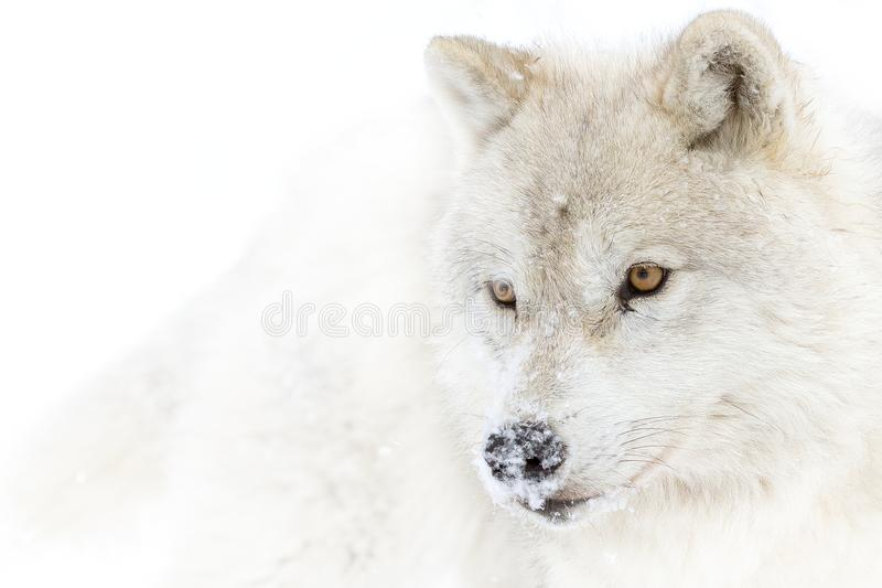 A lone Arctic wolf Canis lupus arctos isolated on white background walking in the winter snow in Canada. A lone Arctic wolf Canis lupus arctos isolated on white royalty free stock photography