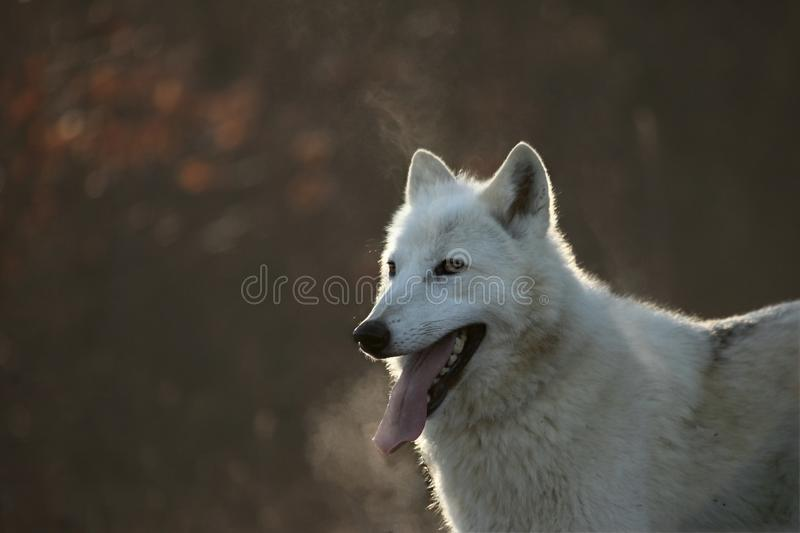 An Arctic Wolf Canis lupus arctos staying in dry grass in front of the forest. royalty free stock photos