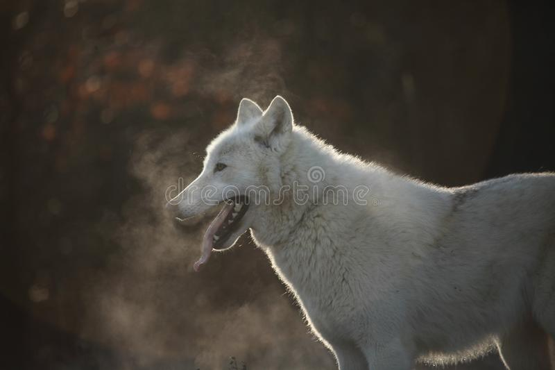 An Arctic Wolf Canis lupus arctos staying in dry grass in front of the forest. stock photos