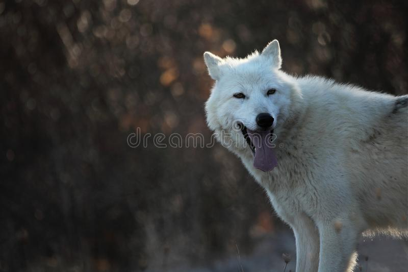 An Arctic Wolf Canis lupus arctos staying in dry grass in front of the forest. stock photography