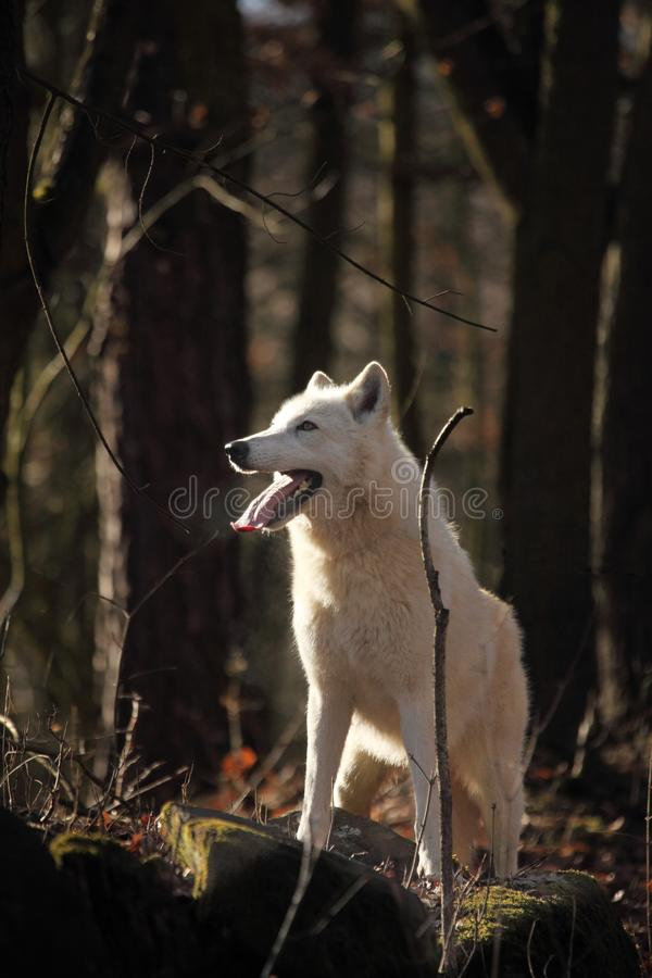 An Arctic Wolf Canis lupus arctos staying in dry grass in front of the forest. royalty free stock images